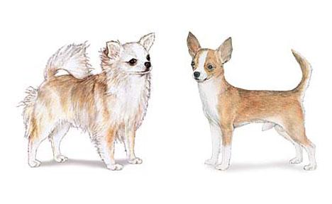Chihuahua Breed Standard | Tampa Bay Chihuahua Club