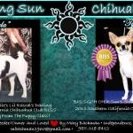 Mary Bachman - Rising Sun Chihuahuas